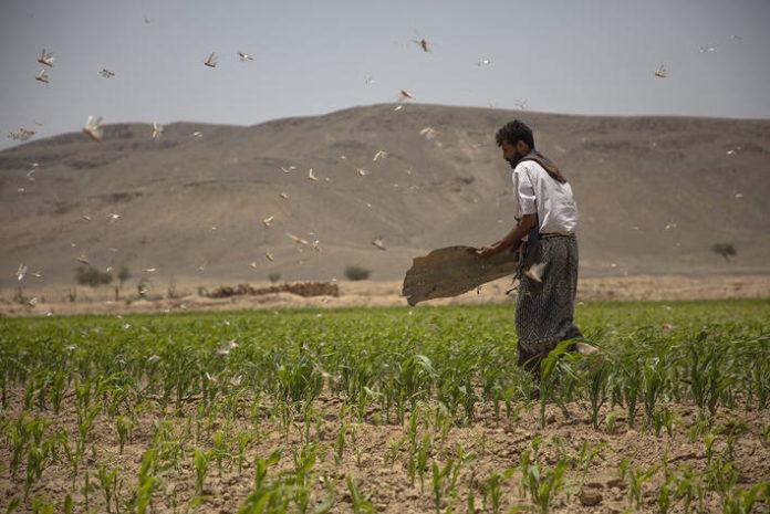 Yemen foto FAO
