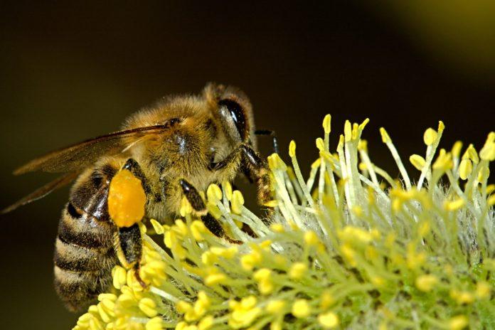 api bees pixabay
